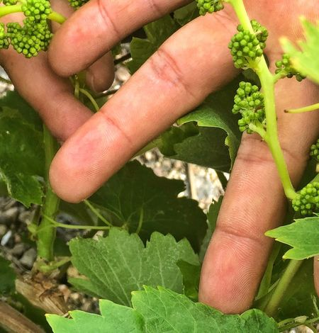 Tiny grapes in Santorini winery. Santorini Human Hand Hand Human Body Part Finger Human Finger Body Part Green Color Plant Close-up