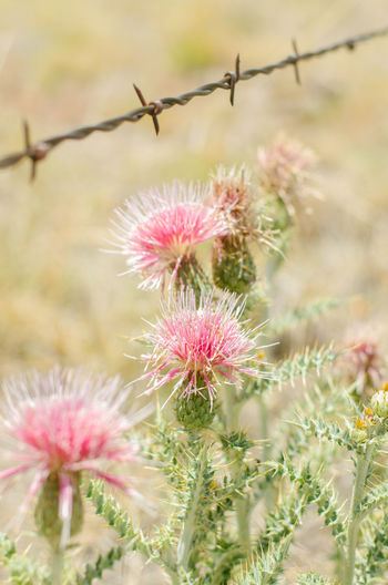 Arizona Barbed Wire Beauty In Nature Cactus Cactus Flower Close-up Desert Desert Landscape Deserts Around The World Landscape No People Pink Color Sharp Spiked Thorn Wildflower Nature's Diversities