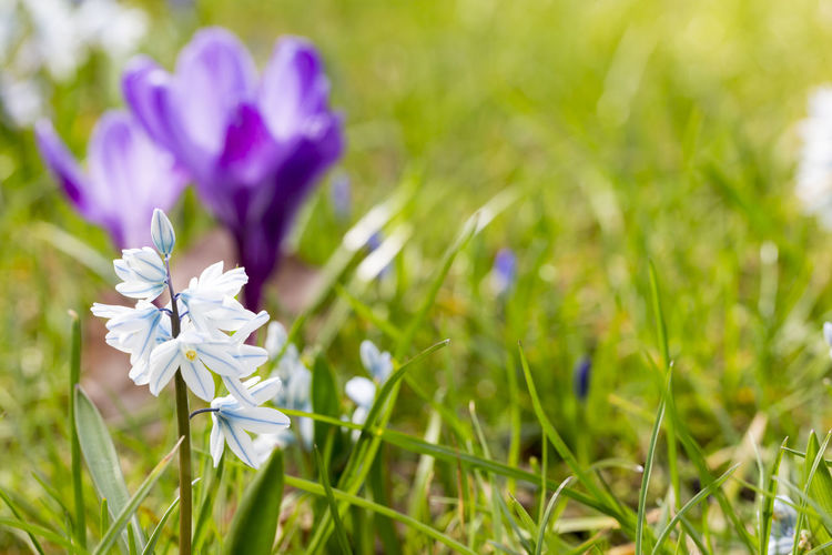 Flower Spring Springtime Season  Easter Nature Bud Blossom Outdoors Flowering Plant Plant Freshness Beauty In Nature Fragility Vulnerability  Growth Petal Close-up Selective Focus Field Grass White Color Flower Head Green Color No People Land Inflorescence Purple Crocus Blade Of Grass
