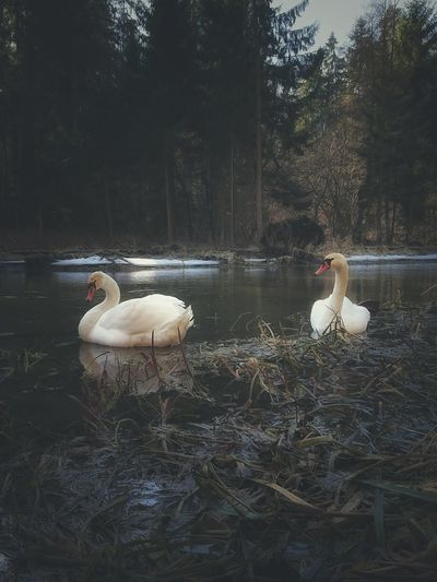 Water Swan Nature Bird Swimming Tree Outdoors Animal Themes Animals In The Wild Day No People Beauty In Nature Forest Forest River Rzeka Labedzie Warmia Poland Las Forest Trees Forest Photography Naturephotography