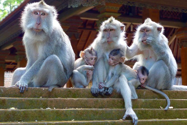 Monkey Family Relaxing On Steps