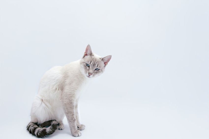 Light tent intruder Domestic Cat Pets Feline One Animal Domestic Animals Mammal Animal Themes Looking At Camera Sitting White Background No People Studio Shot