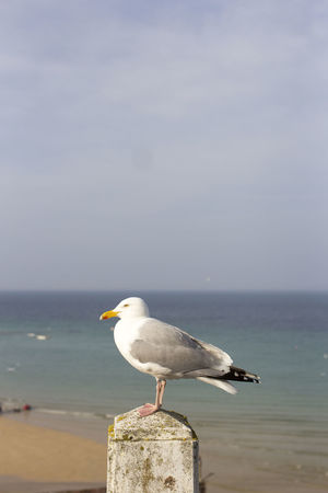 Animals In The Wild Seagulls Animal Themes Animal Wildlife Animals In The Wild Beach Beauty In Nature Bird Bird Portait Birds Close-up Cornwall Day England Horizon Over Water Nature No People One Animal Outdoors Sea Sea Bird Seagull Seagulls And Sea Sky Water