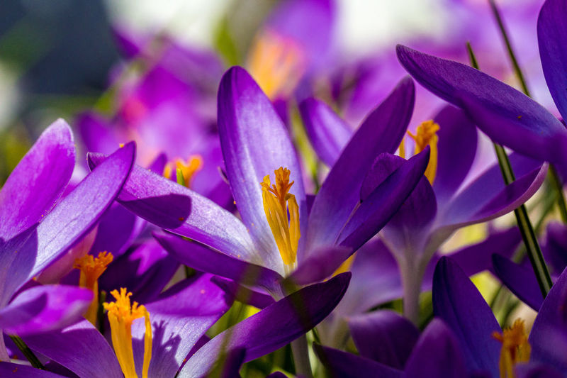 Crocus Beauty In Nature Blooming Botany Close-up Early Crocus Flower Flower Head Growth Nature No People Pink Color Purple Spring Crocus Springtime