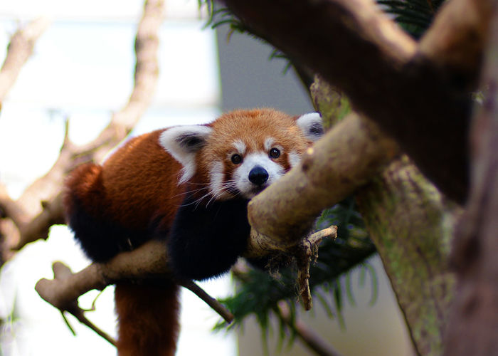 Animal Animal Themes Animal Wildlife Animals In The Wild Branch Day Focus On Foreground Low Angle View Mammal Nature No People One Animal Outdoors Panda - Animal Plant Red Panda Selective Focus Tree Vertebrate Whisker Zoology