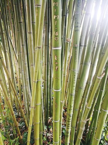 Bamboo Grove Backgrounds Full Frame Close-up Green Color