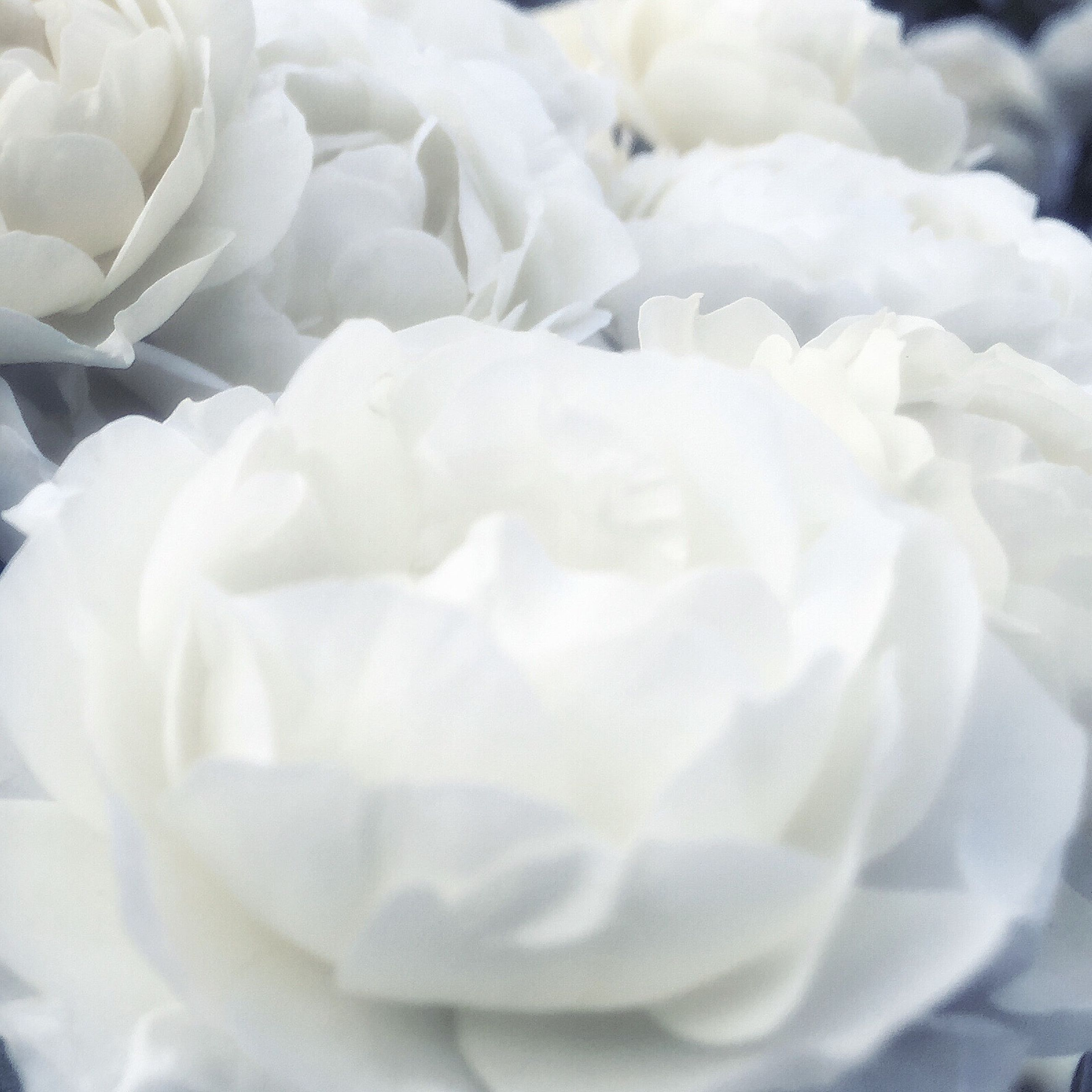 flower, petal, white color, flower head, fragility, full frame, beauty in nature, backgrounds, freshness, close-up, nature, white, softness, rose - flower, high angle view, growth, natural pattern, no people, single flower, blooming