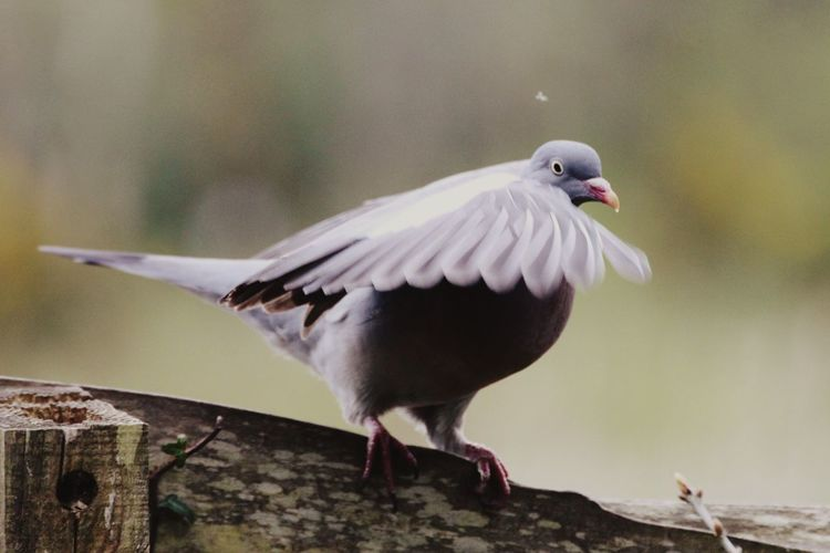 Bird Animals In The Wild Animal Themes One Animal Animal Wildlife Perching Focus On Foreground Spread Wings No People Day Nature Close-up Outdoors Beak