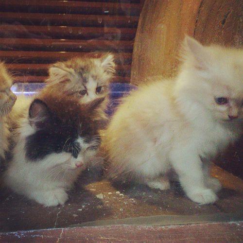 Cute and Adorable Kityty Cats kittens, for sale at pets oasis, jeddah saudi_arabia saudi arabia ksa igersJEDDAH جدة