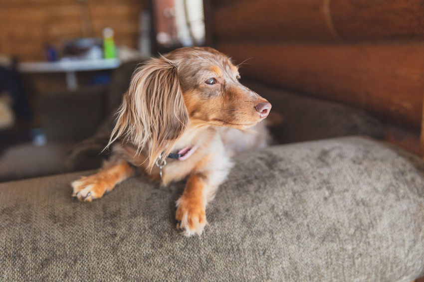 Miniature dachshund with long hair (dapple dachshund or dapple doxie) sitting and looking outside. Dog Pets One Animal Domestic Canine Mammal Animal Themes Animal Domestic Animals Looking Looking Away Vertebrate No People Relaxation Furniture Indoors  Sofa Home Interior Brown Selective Focus Animal Head