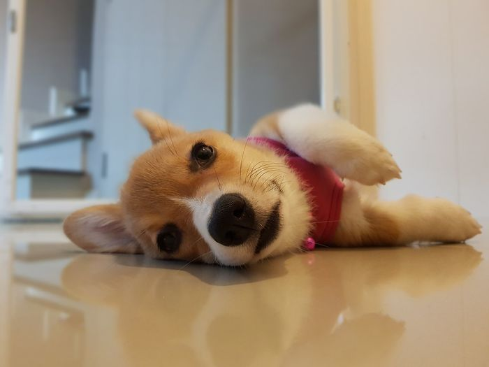 Portrait of dog relaxing on floor at home