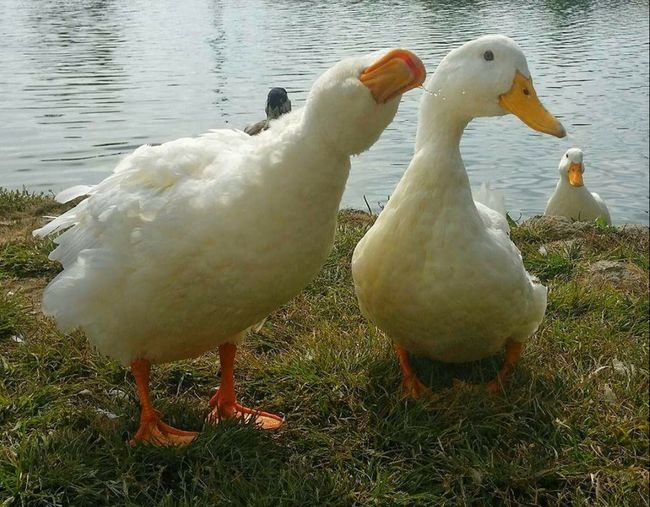 say it don't spray it funny ducks pond, funny animal friends Best Friends FUNNY ANIMALS Ducks Ohio, USA Rebel Rebel Rebel Rebel 👍😏🙌🙌