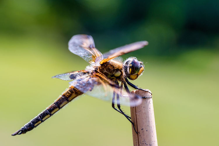 Animal Animal Eye Animal Themes Animal Wildlife Animal Wing Animals In The Wild Beauty In Nature Close-up Day Dragonfly Focus On Foreground Green Color Insect Invertebrate Nature No People One Animal Outdoors Plant Selective Focus Zoology