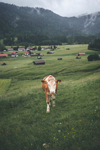 Big and Brown Cow Walking On Green Open Fields in Gerold, Bavarian Alps Grazing Animal Animal Themes Cattle Cow Day Domestic Domestic Animals Domestic Cattle Environment Field Grass Green Color Herbivorous Land Landscape Livestock Mammal No People Outdoors Pets Plant Tree Vertebrate Walking
