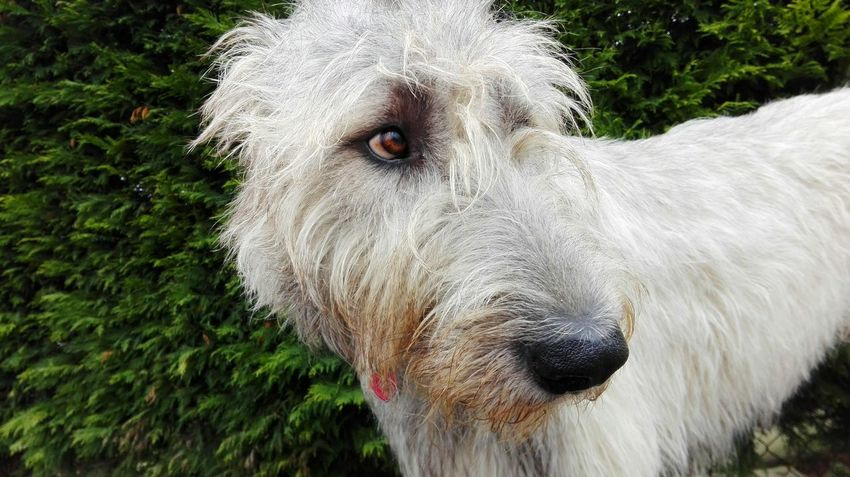One Animal Animal Themes Close-up Outdoors Domestic Animals Winter 2017 February 2017 Irish Wolfhound Dogslife Dogs Of EyeEm Dogs Of Winter Cearnaigh Dog Of The Day Dog