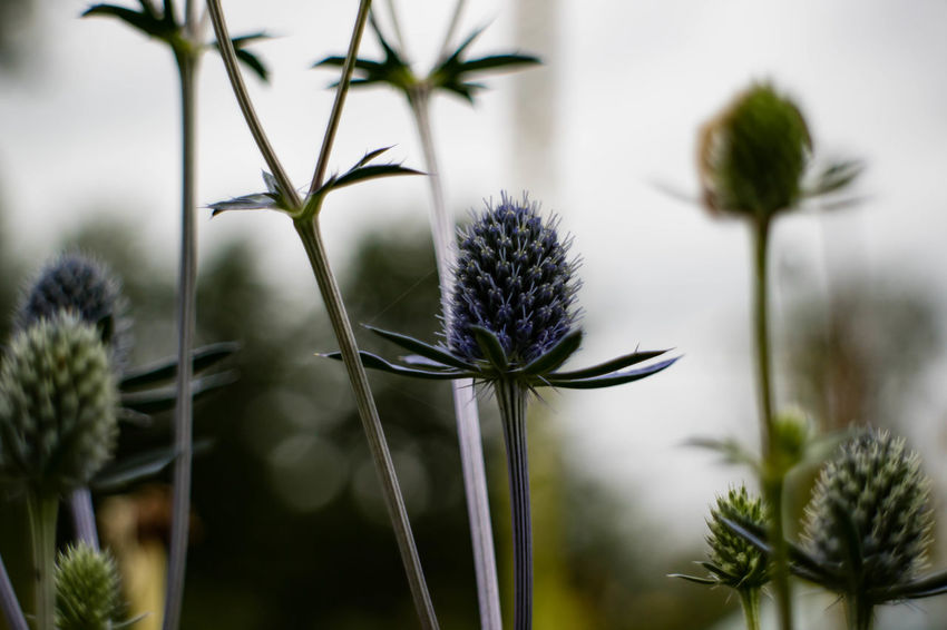 Beauty In Nature Blooming Close-up Day Flower Flower Head Fragility Freshness Growth Nature No People Outdoors Plant Thistle