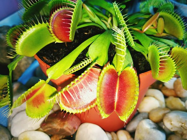 Flower Head Flytrap, Flower, Venusflytrap Dionaea Dionaeamuscipulla Nature Beauty In Nature Nature's Diversities Beauty In Nature Dionaea Muscipula Adapted To The City Creativity