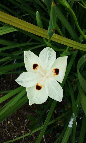 White Flower Solo Taking Photos Outdoor Photography Android Photography Taking Photos Flowers,Plants & Garden Flower Photography Flower Collection Plant Photography White Plant Flowers Tropical Iris