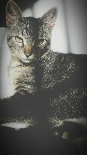 Sim mais um cat Domestic Cat Pets Domestic Animals Animal Themes One Animal Cat Mammal Indoors  Feline Close-up Animal Head  Alertness Whisker Zoology Relaxation Curiosity Resting No People At Home