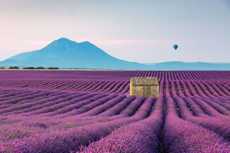 Purple lavender blue mountain & hot air balloon Agriculture Beauty In Nature Day Field Flower Flowering Plant Growth Hot Air Ballooning Idyllic Land Landscape Lavender Mountain Nature No People Outdoors Plant Purple Scenics - Nature Sky Tranquil Scene Tranquility