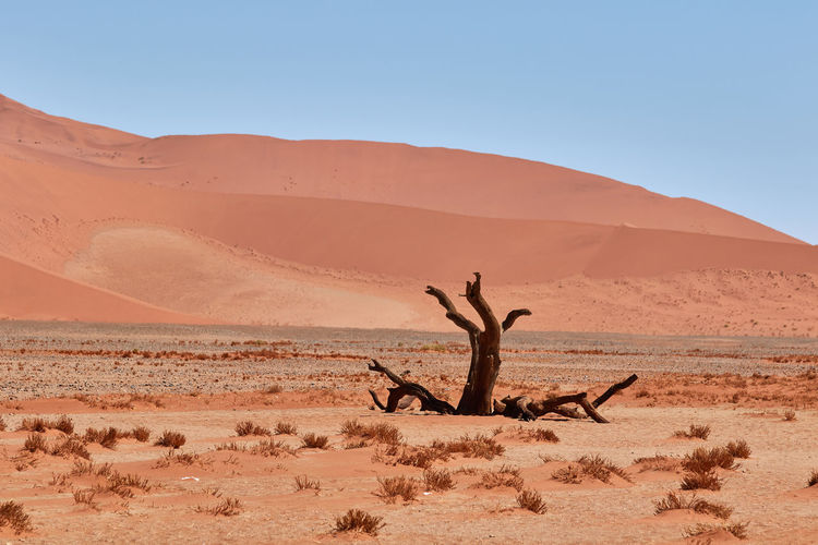 Tree in the namib desert