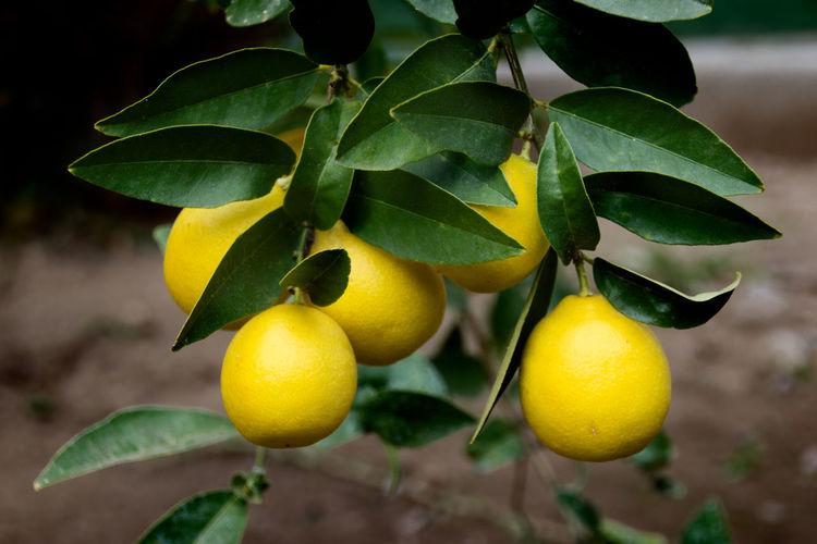 Close-up of lemons on plant