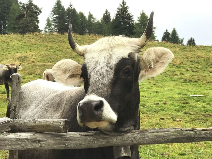 Pet Portraits Livestock Domestic Animals Cattle Rind Grauvieh Dolomiti Italy Alp Malga Lab Alm Weide Herbst Wanderung
