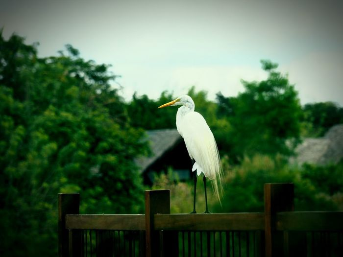 Solitude Observing Nature Birds Of Sri Lanka Travel Photography Birds Of EyeEm  Bird Photography Contemplating Life Series One Animal Bird Animals In The Wild Perching Railing Day Great Egret Beauty In Nature