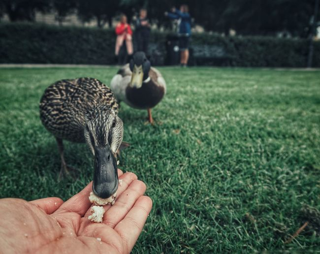 2019 Niklas Storm Juni Mallard Duck Human Hand Bird Holding Human Finger Unrecognizable Person Close-up Grass Duck Water Bird My Best Photo