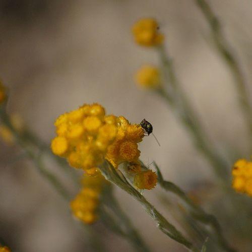 Heteròpters Xinxadecamp Semprevivaborda Helichrysumstoechas flors flowers nature natura herbesiflors macroworld macro_secrets nature nikond40