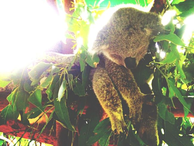 Australia Studyabroad Koala Really Cute Animal Photo By  Me Australiazoo
