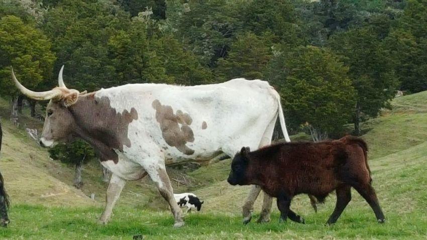 Texan long horn... Bulls Longhorn