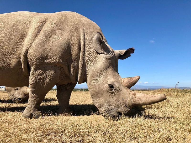 One of the last northern white rhino in Ol Pejeta, Kenya Northern White Rhino Endangered Species Rhinoceros Rhino EyeEm Selects Animal Themes Animal Animals In The Wild Mammal Animal Wildlife Land One Animal Herbivorous Safari