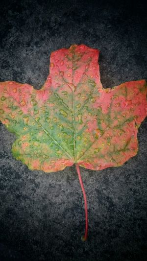 Close-up of maple leaf on ground