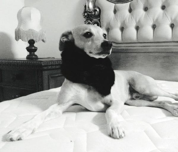 Elégance Dog Minidogs Star Wars One Animal Dog❤ Stella First Eyeem Photo Pets Animal Sitting Domestic Animals Animal Themes Mammal Indoors  No People Day