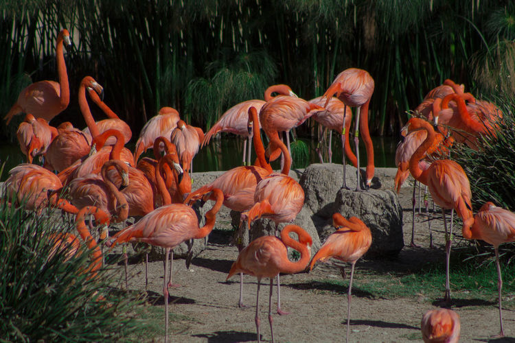 rosa flamingo Animal Themes Animal Wildlife Animals In The Wild Beauty In Nature Bird Day Flamingo Grass Large Group Of Animals Nature No People Outdoors Water