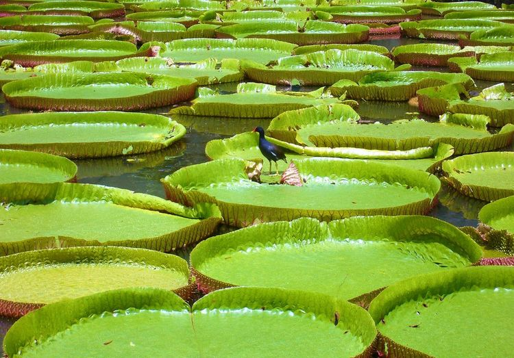 Seerosen Lily étang Seerosenblätter Agriculture Beauty In Nature Day Field Freshness Green Color Growth Leaf Lotus Water Lily Nature No People Outdoors Plant Rice - Cereal Plant Rice Paddy Seerosen Seerosenteich Water