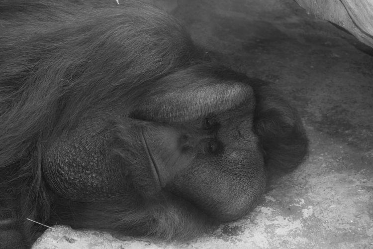 Lonely Joe Mammal Monochrome Captivity Orangutan Lonely Primate Animal Sleeping Eyes Closed  Resting EyeEmNewHere EyeEmNewHere