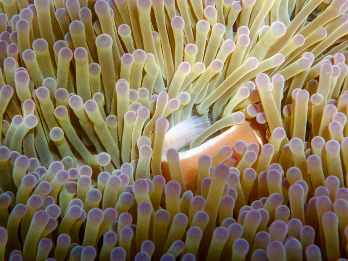 Pink anemonefish in anemone, Koh Tao and Koh Nang Yuan island, Thailand Animal Animal Themes Animal Wildlife Animals In The Wild Beauty In Nature Close-up Clown Fish Invertebrate Marine Nature No People One Animal Pattern Sea Sea Anemone Sea Life UnderSea Underwater Water