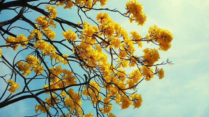 Flower Collection Yellow Flower Tree Branches Beautiful Flowers Flower Photography Nature_collection Yellow Tree And Sky Fragnance Nature Beauty
