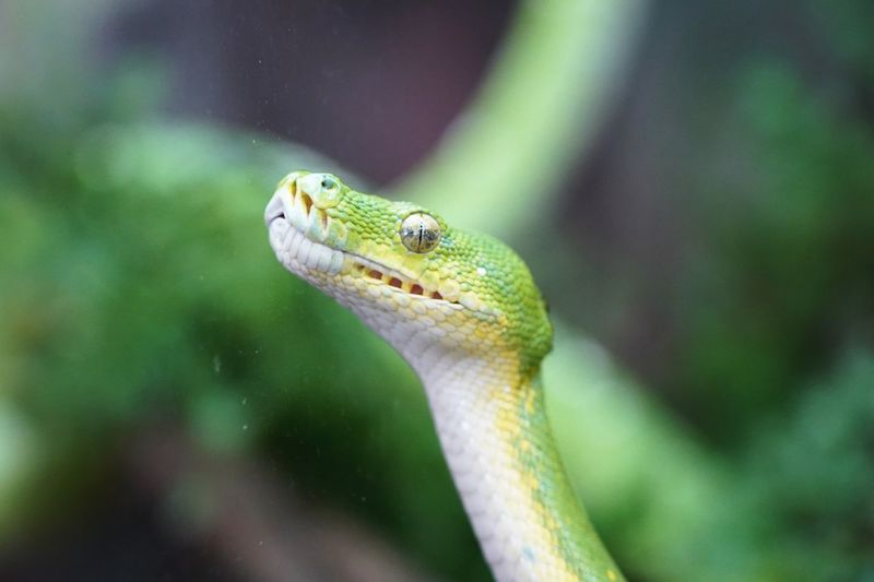 Close-up of green constrictor snake on tree