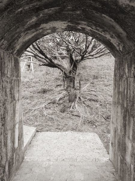Ficus Microcarpa Shuri Castle Black & White Nature Trees Worldheritage Landscape Okinawa Japan Ruins