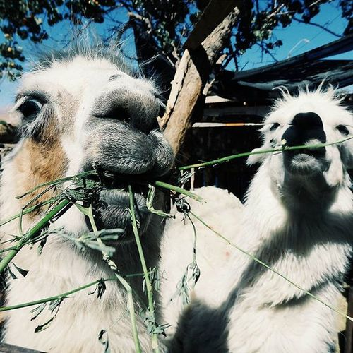 Hola chicos! Lama Llama Foodporn Chile Atacama Travel Animal Nature Cute TheCoolest Discoversouthamerica Instamood VSCO Vscocam Chicos