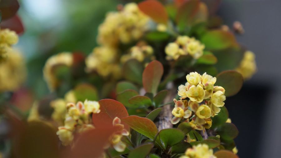 Japanese Holly Flower Flowering Plant Plant Beauty In Nature Freshness Close-up Vulnerability  Fragility Growth Selective Focus Flower Head Nature Inflorescence Petal No People Day Outdoors Focus On Foreground Yellow Plant Part Flower Arrangement Copy Space Yellow Flower Tiny Flowers