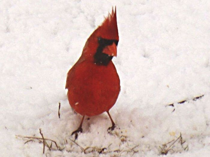A bit peeved, perhaps?? Cardinal male Cardinals Angrybirds Birds Watching Contrast Snow Wildlife Wildlife & Nature Hungry Feedme I specifically said, NO more raisins!