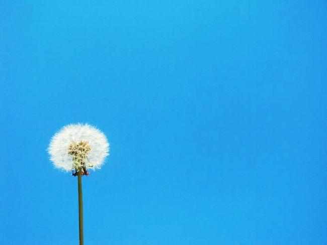 Blue Nature Beauty In Nature Day Photography Argentina Photography First Eyeem Photo Beauty In Nature Naturaleza Photo Love ♥ Flower Cielo Azul Cielo Dandelion Flor Flowers No People Flower Head Plant Fotografia Foto