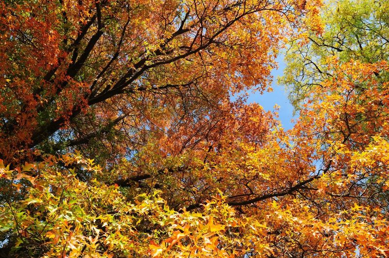 Autumn Change Leaf Tree Nature Beauty In Nature Scenics Orange Color Branch Outdoors Forest Maple Tree Tranquility Tranquil Scene No People Day Growth Low Angle View Multi Colored 🍁