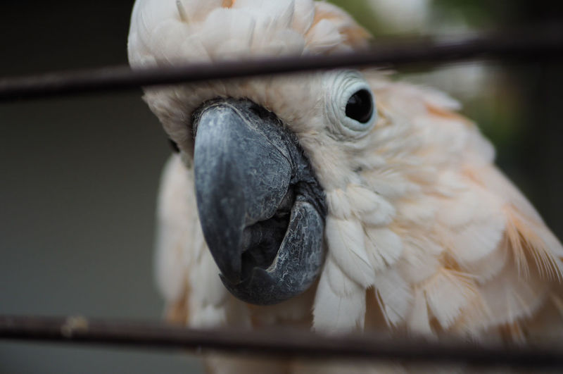 Close-up portrait of cockatoo in cage