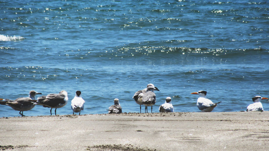 This Is Latin America Animal Animal Themes Animal Wildlife Animals In The Wild Beach Beauty In Nature Bird Day Flock Of Birds Group Of Animals Land Large Group Of Animals Motion Nature Outdoors Sand Sea Seagull Vertebrate Water Wave