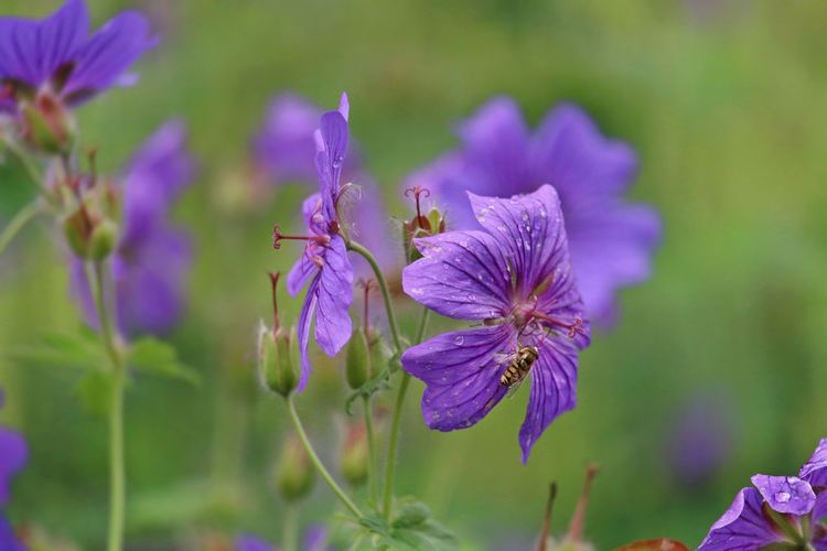 Beautiful Nature Beauty In Nature Beauty In Nature Blooming Blossom Botany Close-up Flower Flower Head Focus On Foreground Fragility Freshness Garden Garden Flowers Garden Photography Growth In Bloom Nature Naturelovers Petal Plant Pollen Purple Selective Focus Stem